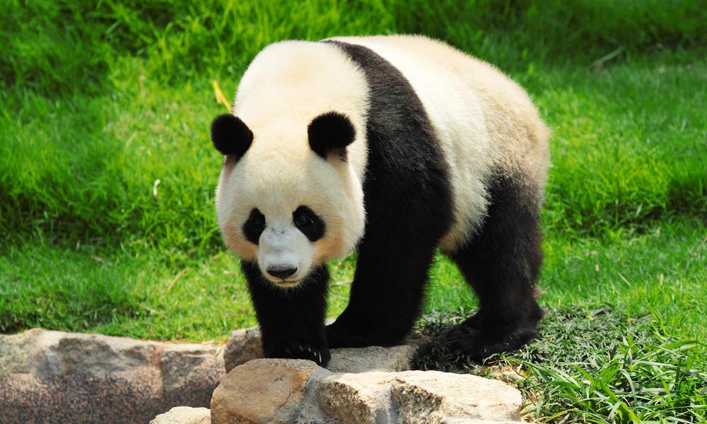 giant panda social media marketing